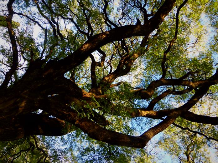 árboles buenos aires