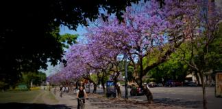 Jacaranda Buenos Aires