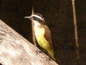 Benteveo pájaro