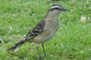 Calandria pájaro