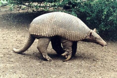 Tatou animal autochtone Argentine