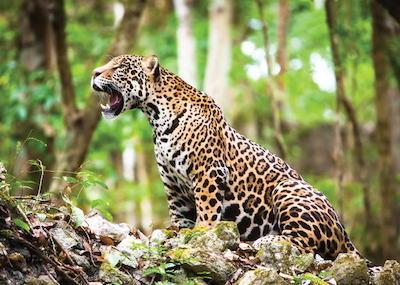 Jaguar Argentine