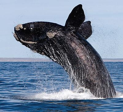ballena franca austral saliendo del agua