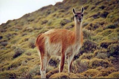 Guanaco Lama guanicoe Patagonie Argentine