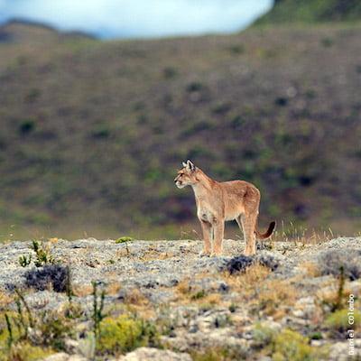 Puma argentine