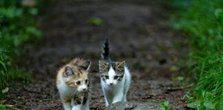 Dos gatitos caminando