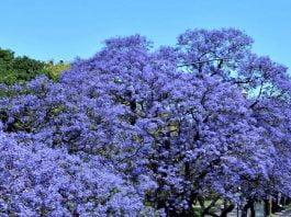 Jacarandá flores primavera