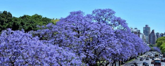 Jacarandá fleur printemps